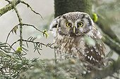Boreal Owl in the Bayerische Wald NP in Germany