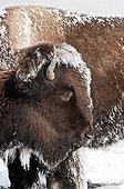 Bison d'Amérique dans la neige PN de Yellowstone