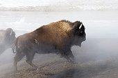 Bison d'Amérique marchant dans la fumée PN de Yellowstone