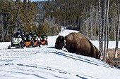 Bison d'Amérique dans la neige et touristes en motoneige