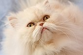 Portrait of creamy white Persian cat