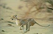 Male Northwest African Cheetah running Niger
