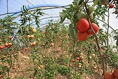 Growing tomatoes in greenhouses plastic Lebanon