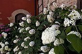 Massif of Hydrangeas in town in the Dombes Ain France