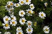 Capitulum of german chamomile France