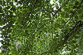 Foliage of a maidenhair tree in a park Strasbourg France