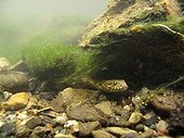 Viperine snake hunting snorkeling in a river France