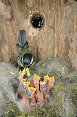 Great tit feeding its brood in a nest box Doubs France