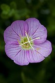 Onagre en fleur dans un jardin