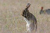 European rabbit grooming France ;