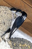House martin feeding its fledglings at nest France