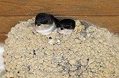 Fledglings of House martin feeding at nest France