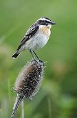 Winchat female on a fuller's teasel Doubs France