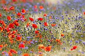 Cornflowers and Poppies in a wheat field Bourgogne France