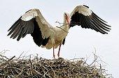 White Stork bringing nesting material in Estonia