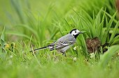 Pied Wagtail adult on the ground in the grass in Estonia