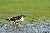 Ruff male in a flood plaine in Estonia