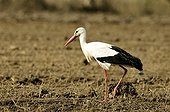 White Stork searching for worms in a plowing in Estonia