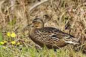Mallard Duck female on a bank of a river in Estonia
