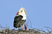 Couple of White Storks in courtship behaviour in Estonia ; On a chimney.