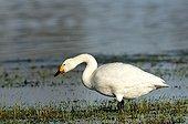Whooper Swan drinking in a flood plain in Estonia