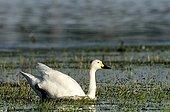 Whooper Swan swimming in a flood plain in Estonia