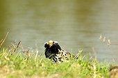 Ruff male in bridal plumage on a bank in Estonia