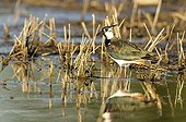 Northern Lapwing in bridal livery in a flood plain Estonia