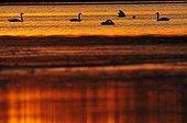 Whooper Swans swimming at sunset in Estonia