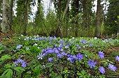 Hepaticas in bloom in undergrowth in Estonia