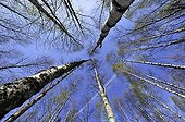 Peaks of Birch forest in the spring in Estonia