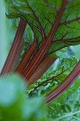 Feuille de Bette dans un jardin potager
