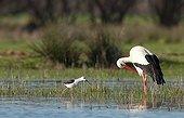 Stork making its toilet Aiguamolls NP Spain