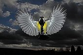 Great Tit in flight on a cloudy blue sky