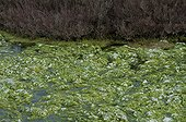 Algae in a canal in the Camargue France