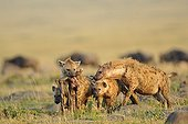 Spotted hyenas with a carcass of a young Wildebeest Kenya