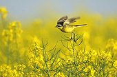 Ashy headed Wagtail snorting on turnip in fruits in France