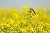 Ashy headed Wagtail male on turnip in fruits in France
