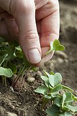 Thinning of radish sowings in a kitchen garden