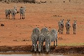 Burchell's zebras drinking at waterhole Tsavo Kenya ; Grand Prix of the International Festival of Montier en Der in 2007