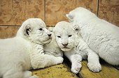 White lion cubs in the Belgrade zoo in Serbia ; The Belgrade Zoo specializes in the conservation of species of white or albinos and particularly white lions, a subspecies extremely rare.