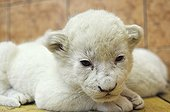 White lion cub in the Belgrade zoo in Serbia ; The Belgrade Zoo specializes in the conservation of species of white or albinos and particularly white lions, a subspecies extremely rare.