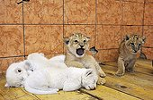 White and yellow Lion cubs in the Belgrade zoo in Serbia ; The Belgrade Zoo specializes in the conservation of species of white or albinos and particularly white lions, a subspecies extremely rare.