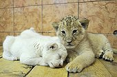 White and yellow Lion cubs lying Zoo Belgrade Serbia ; The Belgrade Zoo specializes in the conservation of species of white or albinos and particularly white lions, a subspecies extremely rare.