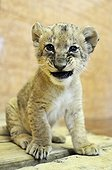 Portrait of a Lion cub sitting Zoo Belgrade Serbia ; The Belgrade Zoo specializes in the conservation of species of white or albinos and particularly white lions, a subspecies extremely rare.