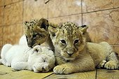White and yellow Lion cubs in the Zoo Belgrade Serbia ; The Belgrade Zoo specializes in the conservation of species of white or albinos and particularly white lions, a subspecies extremely rare.