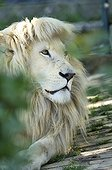 Portrait of a White Lion in Belgrade Zoo in Serbia ; The Belgrade Zoo specializes in the conservation of species of white or albinos and particularly white lions, a subspecies extremely rare.