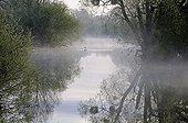 Mute swans in the fog on Allan river Brognard DoubsFrance