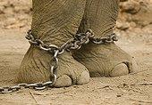 Elephant working in a plantation of Teak Burma