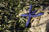 Starfish Blue Messah Pulau Flores Indonesia